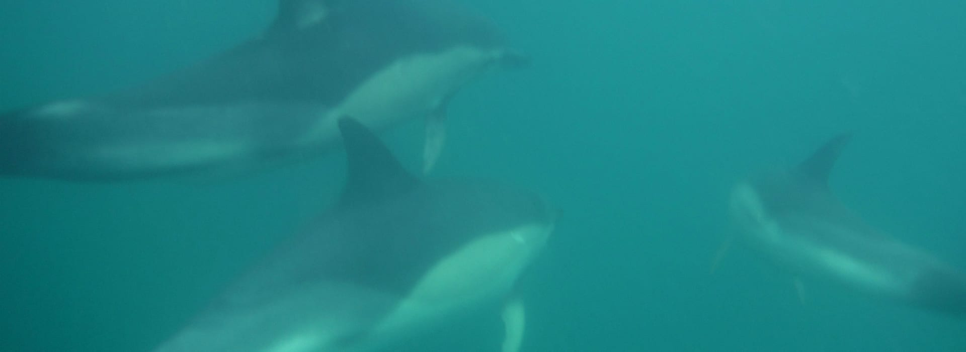 Dolphins spotted while on one of our jet ski safaris at lusty glaze beach newquay